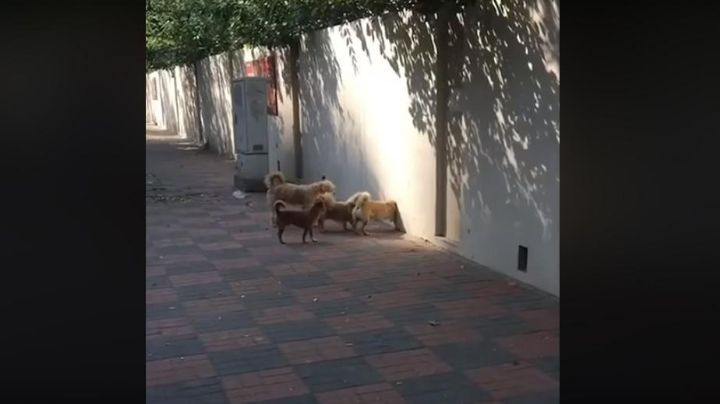 Varios perros, una pared y un video viral impactante. Mirá