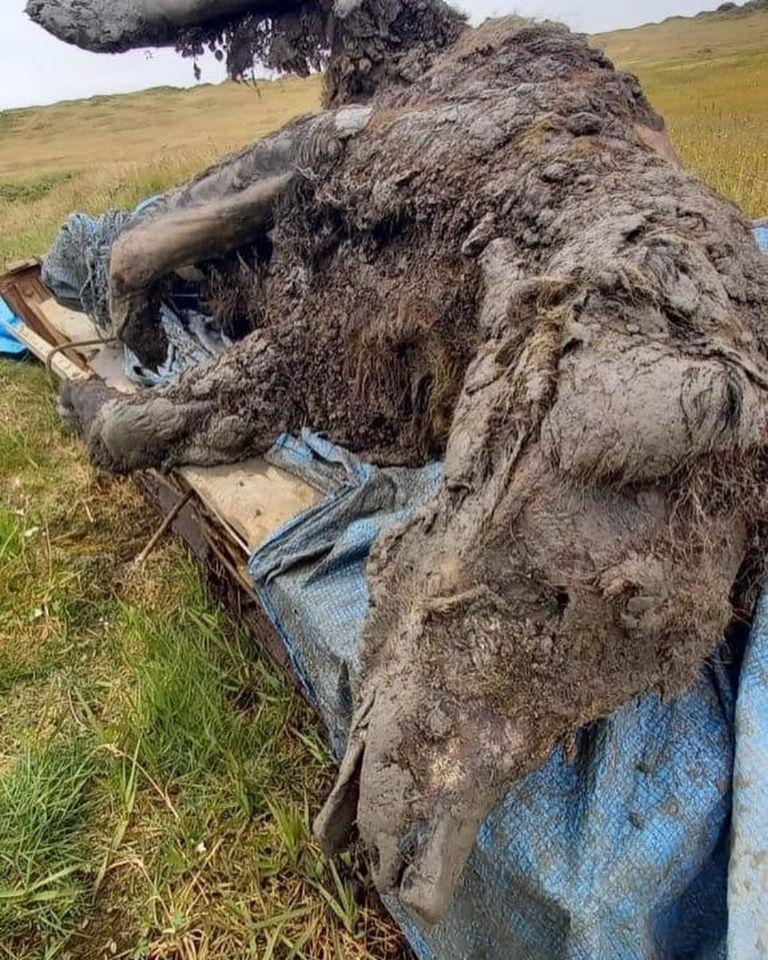 Inédito: encuentran restos intactos de un oso de las cavernas